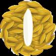 คัดสรรเมล็ดพันธุ์ข้าวหอมมะลิที่ดีที่สุดให้ชาวนา
